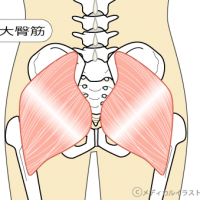 【2040】大臀筋の構造