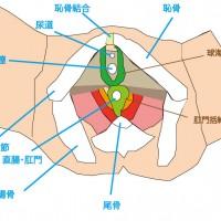 骨盤底筋-括約筋群-2