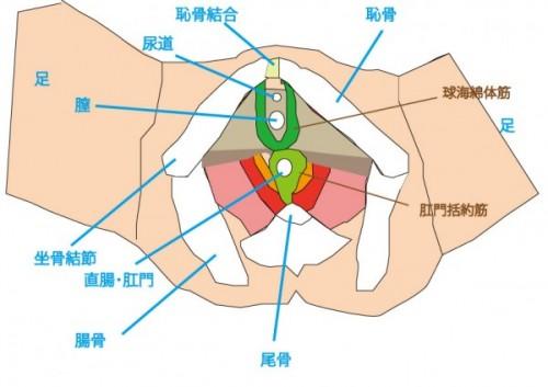 大和市の整体、ダフィーカイロプラクティックの骨盤底筋括約筋群図