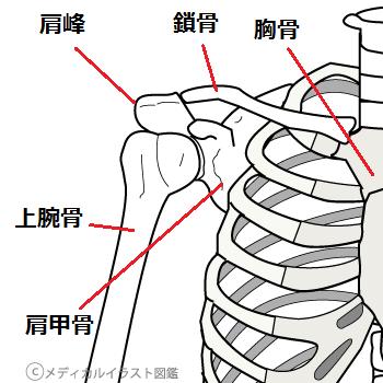 鎖骨と肩の骨格図(上腕関節)