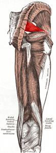 Piriformis_muscle